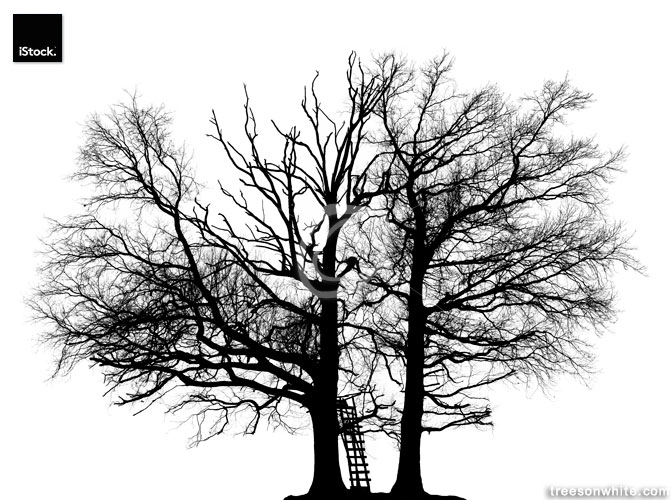 Two black Oak trees in winter isolated on white with_a_ladder.