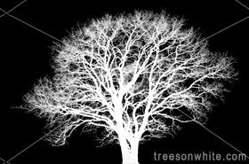 White English oak tree (Quercus robur) in winter isolated on_black