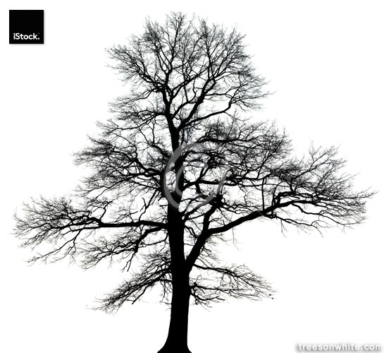 English oak tree (Quercus robur) in winter isolated black_and wh
