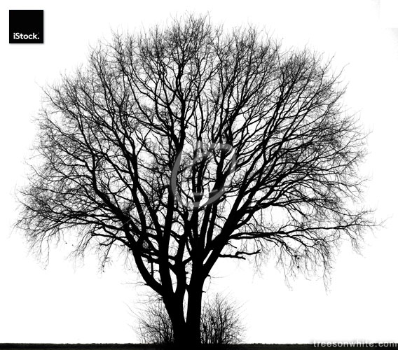 Large tree in winter, black and white isolated.