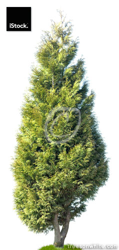 Cedar: Western Arborvitae (Thuja plicata) isolated on white.