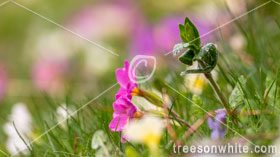 Spring easter meadow with colorful primroses (Primula vulgaris),