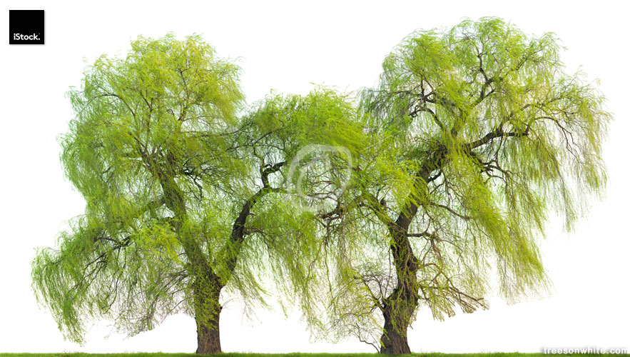 Weeping willow trees (Salix babylonica) in spring isolated on wh