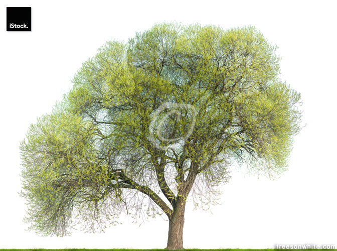 Crack willow tree (Salix fragilis) in spring isolated on white.