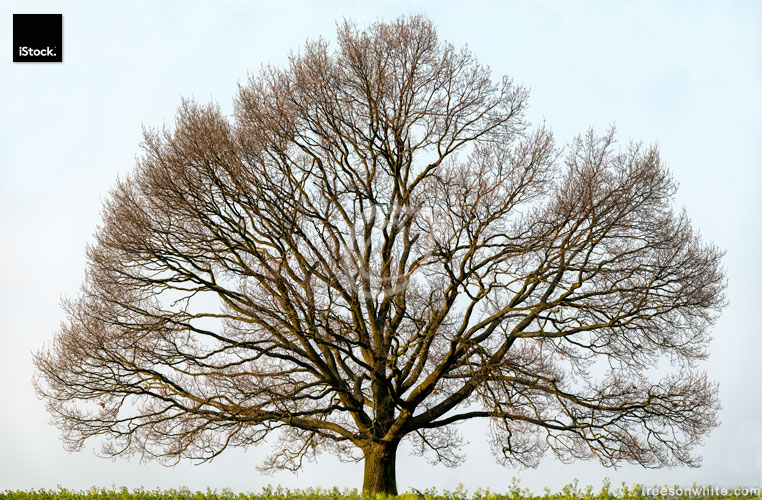 Large Oak Tree isolated on field in spring, expansive canopy.