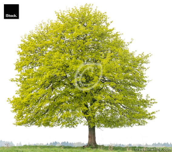 Norway Maple tree (Acer platanoides) on meadow isolated on_white
