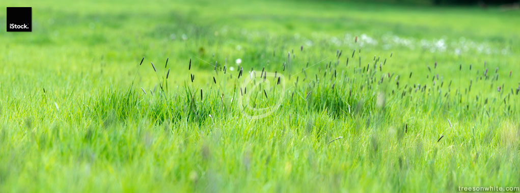 Lush, moist meadow panoramic, high resolution image.
