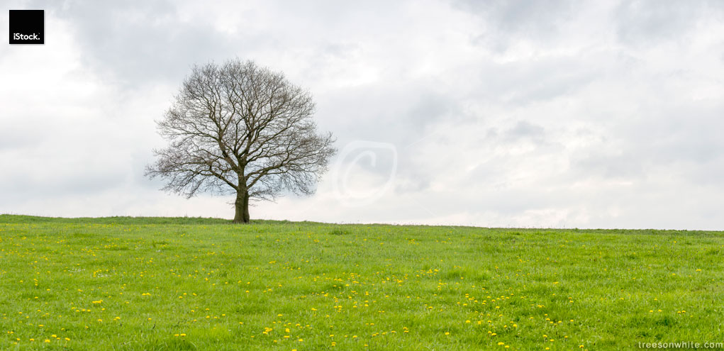 Lone oak in spring on green field and cloudy sky.