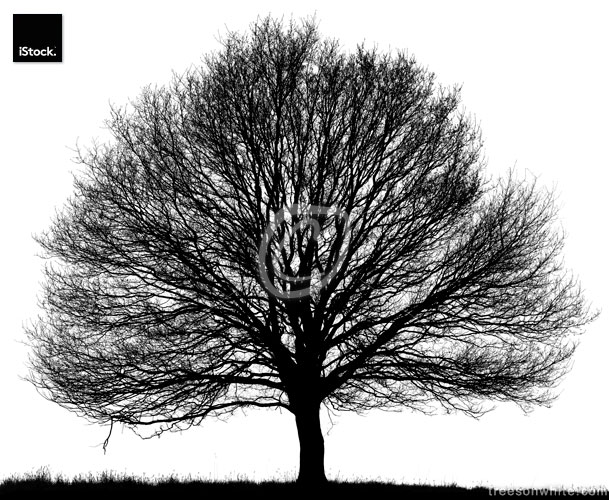Black Oak Tree (Quercus petraea) isolated on white.