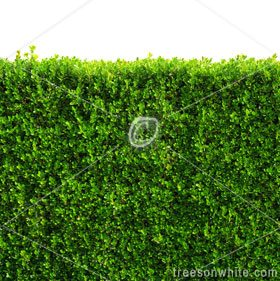 Box hedge with green leafs isolated / clipping-path