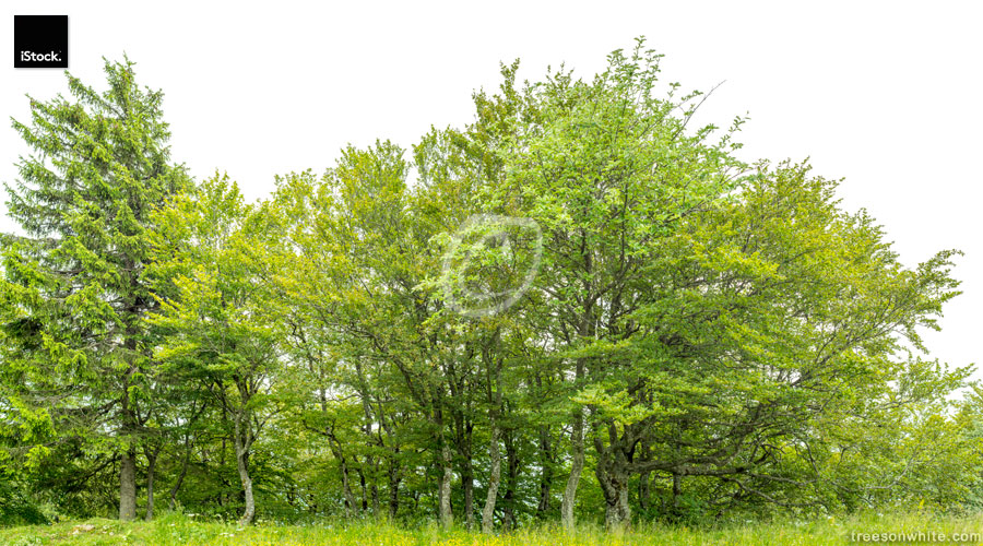 Edge of a native wood isolated on white with meadow.