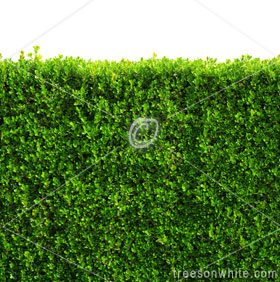 Seamless box hedge with green leafs isolated / clipping-path