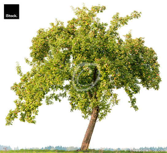 Apple tree in summer isolated on white (Malus domestica) +apples