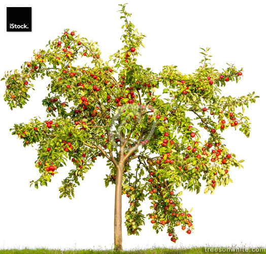 Apple tree loaded with apples isolated on white (Malus domestica
