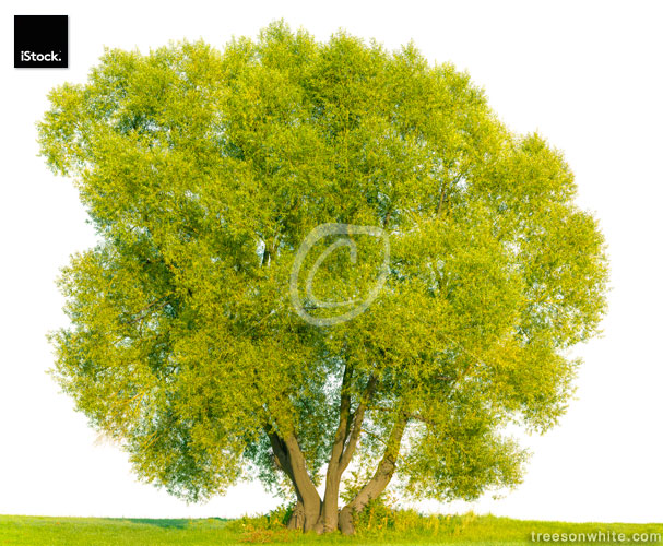 White willow tree (Salix alba) isolated on white.