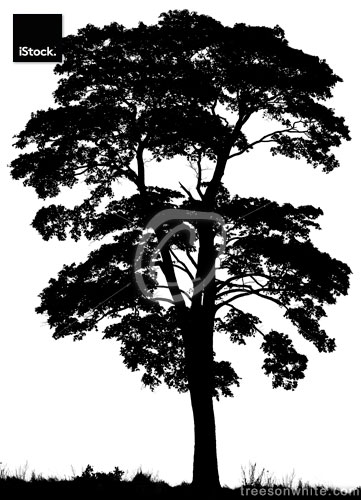 Black silhouette of Norway maple tree (Acer platanoides)