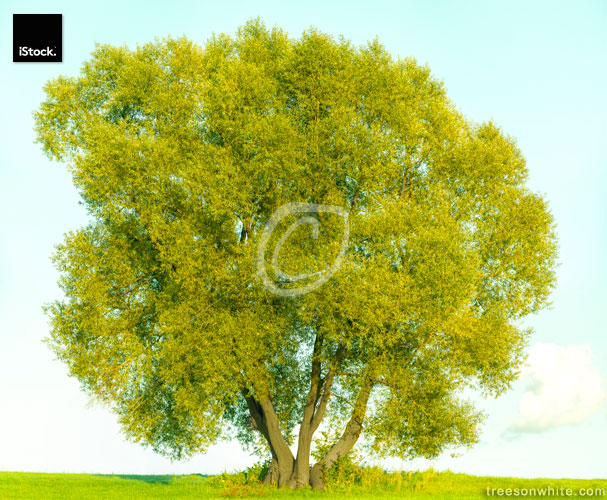 White willow tree (Salix alba) on field and bright blue_sky.