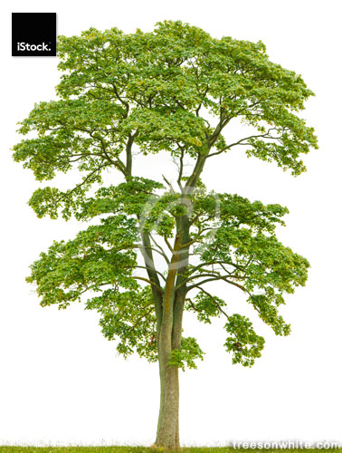 Large Norway maple tree (Acer platanoides) isolated on white.