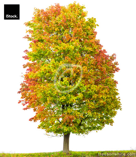 Norway Maple Tree (Acer platanoides) isolated on white with autumn.