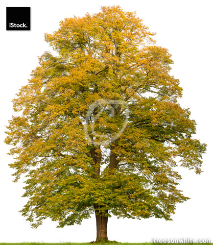 Large lime tree (Tilia cordata) in autumn isolated on white.
