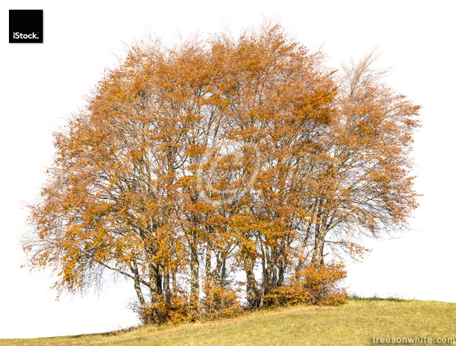 Colored Beech trees (Fagus sylvatica) in fall isolated on white.