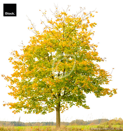 Norway Maple Tree (Acer platanoides) isolated on white with autu