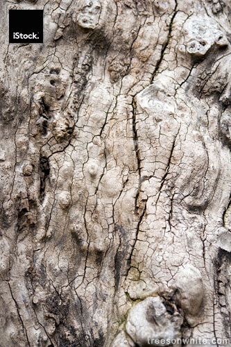 Very old bark close-up from oak tree – gorgeous texture.