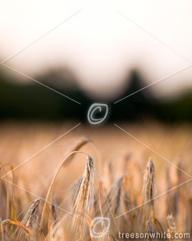 Corn field with copy space.