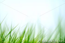 Green grass in wind isolated with blurred motion