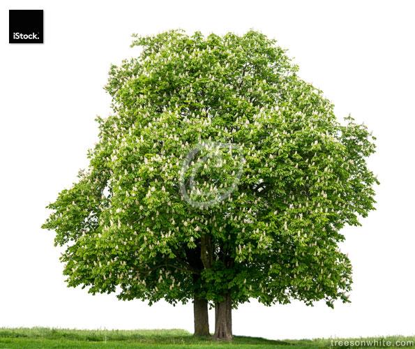 Pair of Horse Chestnut trees (Aesculus hippocastanum) in bloom,