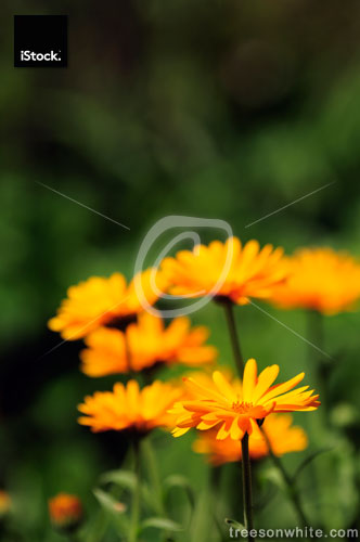 Calendula officinalis (Pot Marigold ) Flower close-up.