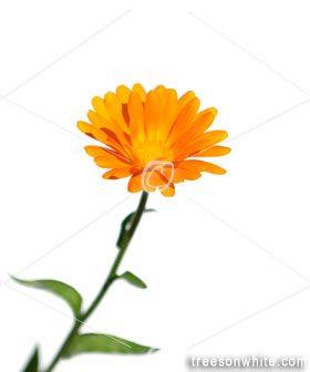 Pot Marigold flower (Calendula officinalis) isolated on white.