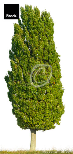 Single Cypress Oak standing on a field with white background.