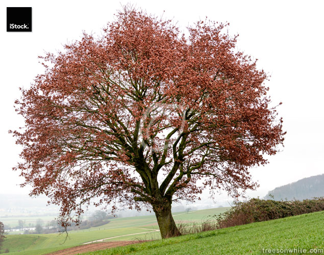 Oak tree on field with some remaining red leaves in_winter.