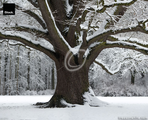 Old Oak with strong branches in winter covered with snow.