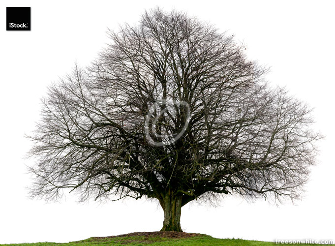 Lime tree or Tilia_cordata in winter isolated on white backgroun