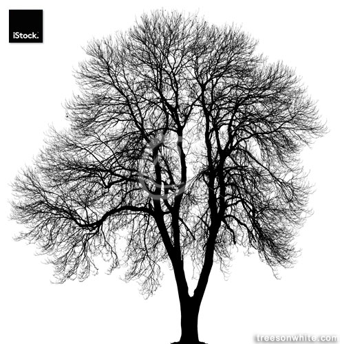 Black Norway maple or Acer platanoides in_winter isolated on whi