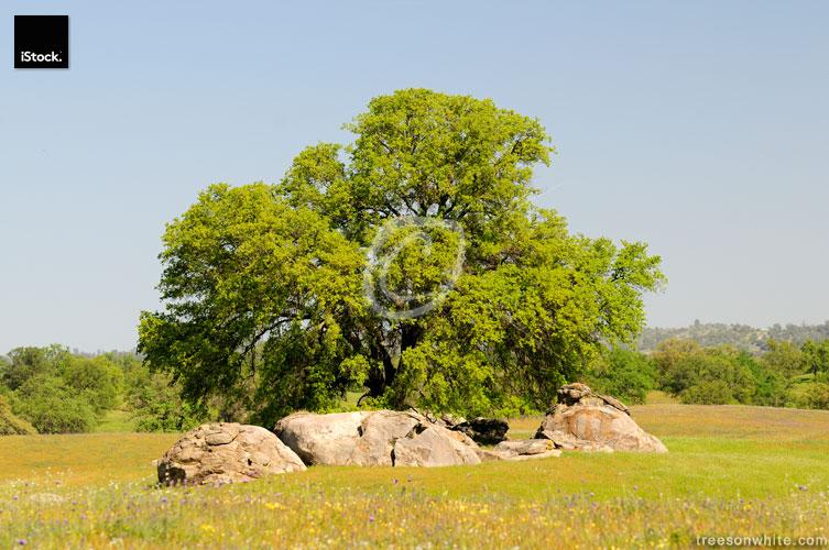 California Black Oak (Quercus kelloggii) in spring on green mead