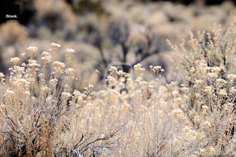Dry desert plants in Nevada, USA.