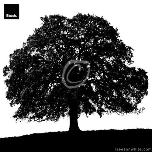 California Black Oak Tree Silhouette (Quercus kelloggii) /isolat