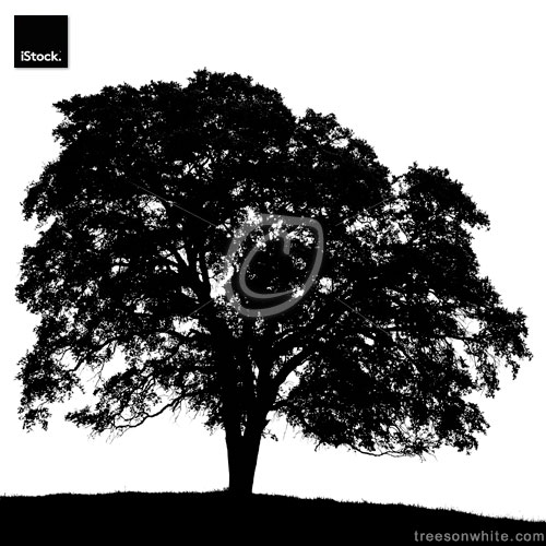 California Black Oak Tree Silhouette (Quercus kelloggii) /isolat