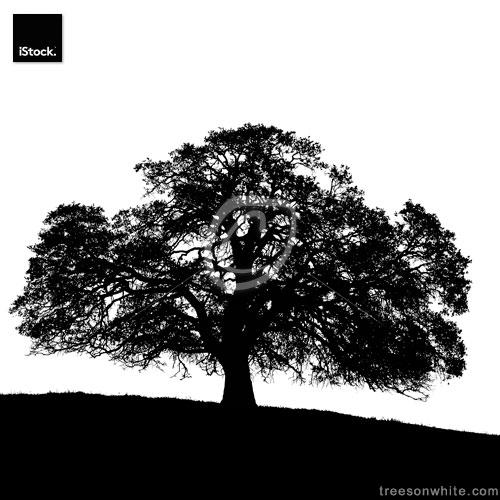 California Black Oak Tree Silhouette (Quercus kelloggii) /isolated on white.