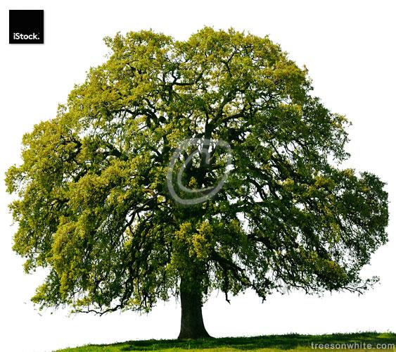 California Black Oak (Quercus kelloggii) on hill in spring isola