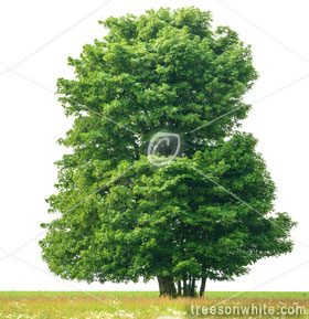 Trees Isolated On White