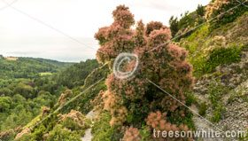 Smoketrees or Cotinus coggygria in their natual habitat.